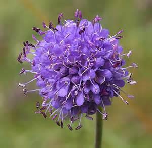 Devils Bit Scabious Flower
